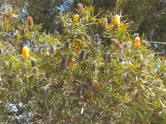 Banksia  (Banksia)