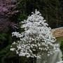 Star_magnolia