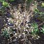 Prunus_incisa