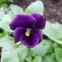 Viola cornuta 'Admiration' (Viola cornuta)