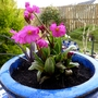Primula rosea 'Grandiflora'...striking colour in a little blue pot. (Primula rosea (Himalayan Meadow Primrose))
