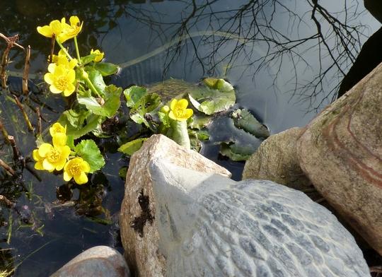 Marsh marigold for a bit of cheer! (Caltha palustris (Kingcup))