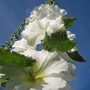 White_hollyhock_4