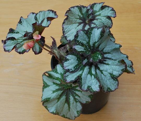 Begonia first flower...... (Begonia)