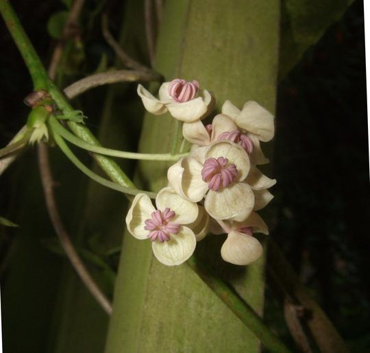 Akebia quinata 'Cream Form' (Akebia quinata)