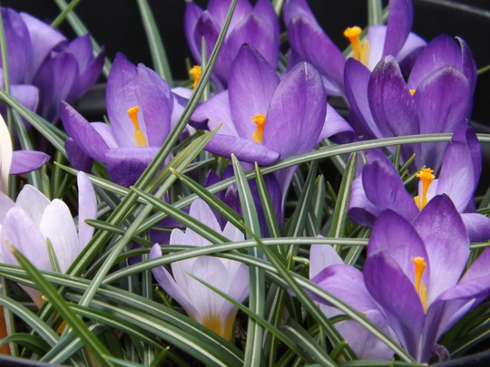 More Crocus! (Crocus)