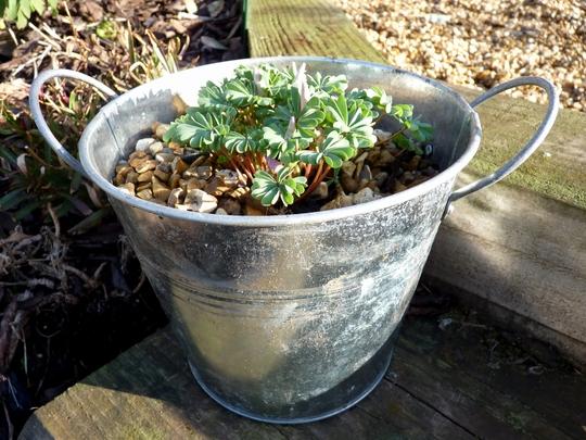 Oxalis in a bucket