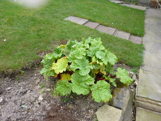 FOR HOMEBIRD. MY RHUBARB UPDATE