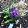 Midnight mystique (hyacinthus midnight mystique)