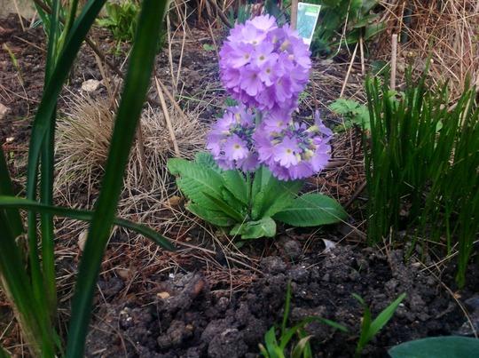Drumstick prim (Primula denticulata (Drumstick primula))