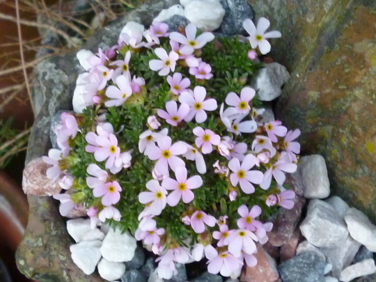 such a pretty thing. (Androsace carneum)
