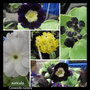 auricula