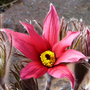 Pulsatilla_bells_red