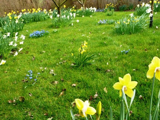 Daffs etc. in the fruit tree area