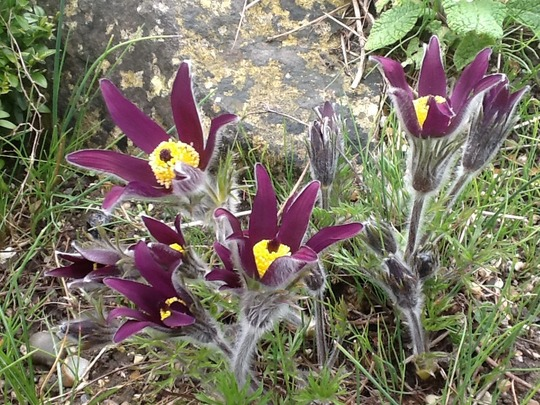 Worth the Wait.Pusatilla On Rockery! (Pulsatilla vulgaris (Pasque flower))