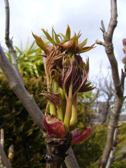 Tree peony coming to life (Paeonia lutea (Tibetan Peony))