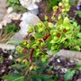 Euphorbia purpurea  (Euphorbia amygdaloides purpurea.)