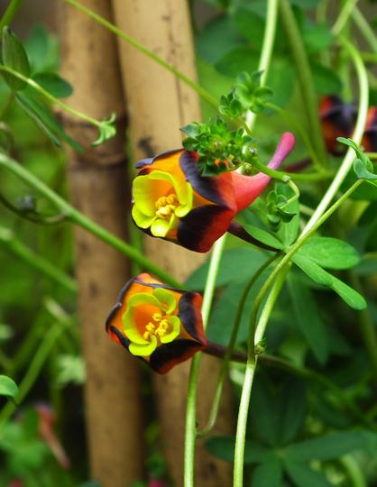 Tropaeolum tricolor (Tropaeolum tricolor)