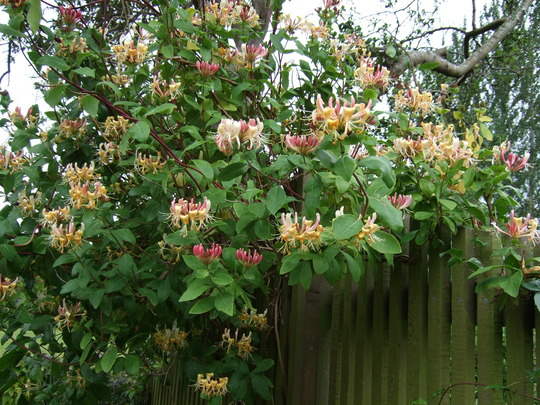 Honeysuckle on the fence. (Lonicera)