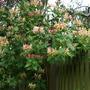 Honeysuckle on the fence. (Lonicera)