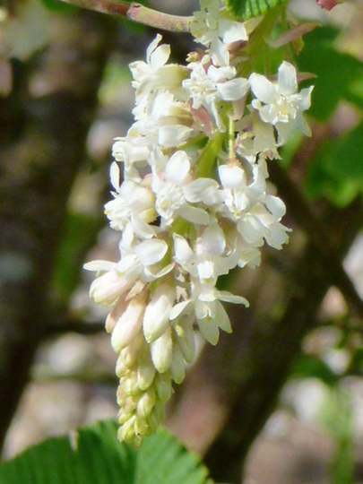 Ribes ..    White Icicle   (Sanguineum  White Icicle)