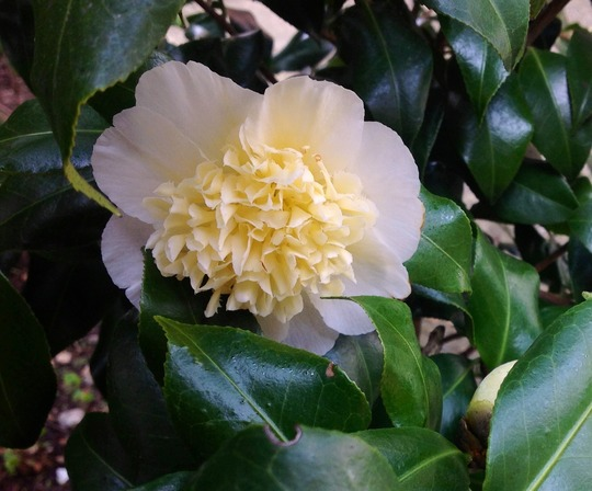 Yellow Camellia  (camellia brushfields yellow)