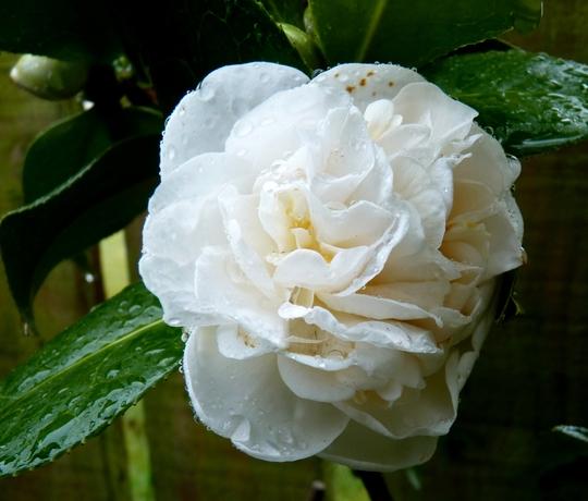 Camellia X williamsii E.T.R. Carlyon