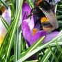 Bombus terrestris (buff tailed bumble bee)