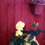 Yellow Rose and Livingstone Daisies: