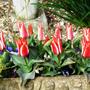 Tulip_pinocchio