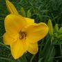 Daylily - Unknown