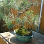 pine bonsai