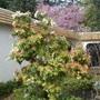 Pieris japonica (Japanese andromeda) (Pieris japonica)