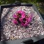 Primula rosea - 2013 (Primula rosea)