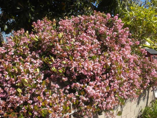 Rhaphiolepis indica - Indian Hawthorn Flowering (Rhaphiolepis indica - Indian Hawthorn)