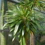 Pachypodium lamerei (Pachypodium lamerei)