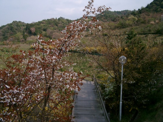 Stairs under a cherry blossom.