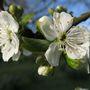 'The Czar' plum blossom