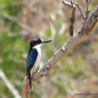 Mid-Autumn in N.E. Downunder - Garden visitor ... Forest Kingfisher