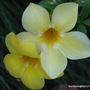 Mid-Autumn in N.E. Downunder - Allamanda cathartica 'Sunee' is blooming