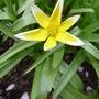 Tulipa tarda - 2013 (Tulipa tarda)