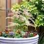 Sorbaria in a pot with cheery violas :) (Sorbaria sorbifolia)