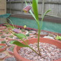 Fritillaria minuta (Fritillaria minuta)