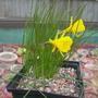 Narcissus bulbocodium filifolius