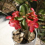 Desert Rose (Adenium obesum)
