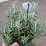 Andromeda polifolia 'Blue Ice' (Andromeda polifolia 'Blue Ice')