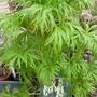 Aconitum nappelus vulgare albidium
