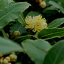 Bay Tree Flowers...... (Laurus nobilis)