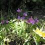 Lathyrus vernus and Tulip Tarda