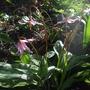 Erythronium revolutum 'Knightshayes' (Erythronium revolutum)